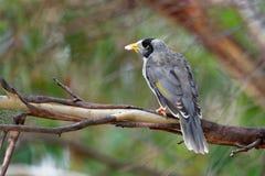 De lawaaierige Mijnwerker - Manorina-melanocephala - vogel in de honeyeaterfamilie, Meliphagidae, en is endemisch aan oostelijke  royalty-vrije stock afbeelding