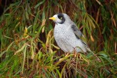 De lawaaierige Mijnwerker - Manorina-melanocephala - vogel in de honeyeaterfamilie, Meliphagidae, en is endemisch aan oostelijke  stock afbeeldingen