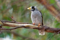 De lawaaierige Mijnwerker - Manorina-melanocephala - vogel in de honeyeaterfamilie, Meliphagidae, en is endemisch aan oostelijke  royalty-vrije stock foto