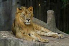 De leeuw royalty-vrije stock afbeelding