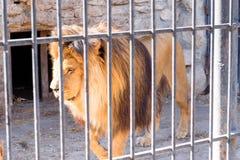 De leeuw is de koning achter de tralies van dieren in gevangenschap in een dierentuin Macht en agressie in de kooi royalty-vrije stock afbeeldingen