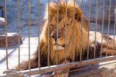 De leeuw is de koning achter de tralies van dieren in gevangenschap in een dierentuin Macht en agressie in de kooi stock afbeelding