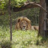 De leeuw ligt in schaduw van boom Royalty-vrije Stock Afbeeldingen