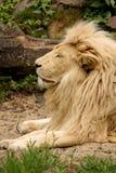 De leeuw rust in de zon Stock Afbeeldingen
