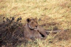 De leeuw slaapt in het gras stock foto