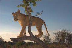 De Leeuw van Afrika (leo Panthera) Royalty-vrije Stock Foto's