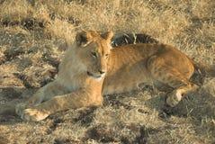 De Leeuw van Afrika (leo Panthera) Stock Afbeelding
