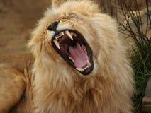 De leeuw van Angola Royalty-vrije Stock Fotografie