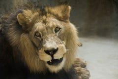 De Leeuw van Barbarije Royalty-vrije Stock Foto