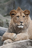 De leeuw van Barbarije Stock Afbeeldingen