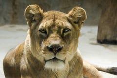 De Leeuw van Barbarije - liones Stock Fotografie