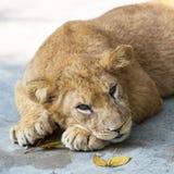 De leeuw van de baby Royalty-vrije Stock Foto
