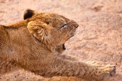 De leeuw van de baby het uitrekken zich Stock Fotografie