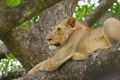 De Leeuw van de boom Royalty-vrije Stock Foto's