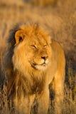 De leeuw van de koning Stock Afbeeldingen