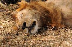 De leeuw van de slaap Stock Afbeeldingen