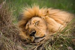 De leeuw van de slaap Stock Foto