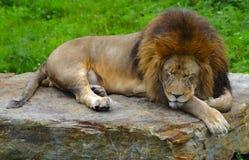 De Leeuw van de slaap Stock Afbeelding