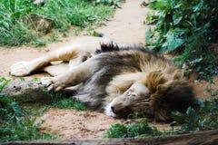 De leeuw van de slaap Stock Foto's