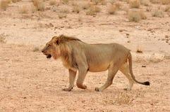 De Leeuw van de woestijn in Afrika Stock Foto