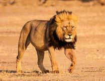 De Leeuw van Kalahari Stock Foto's