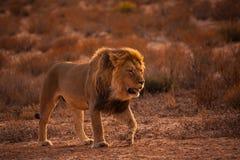 De Leeuw van Kalahari Stock Afbeeldingen