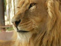 De leeuw van de koningswildernis in de dierentuin, mooi dier stock fotografie