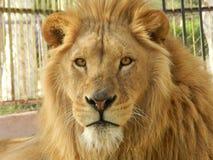 De leeuw van de koningswildernis in de dierentuin, mooi dier stock foto