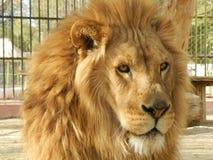 De leeuw van de koningswildernis in de dierentuin, mooi dier royalty-vrije stock afbeeldingen