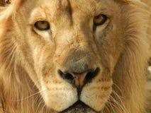De leeuw van de koningswildernis in de dierentuin, mooi dier royalty-vrije stock foto's