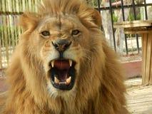 De leeuw van de koningswildernis in de dierentuin, mooi dier stock foto's