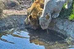 De leeuw werpt drinkwater stock foto