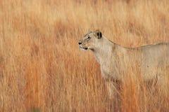 De leeuw in Zuid-Afrika royalty-vrije stock afbeeldingen