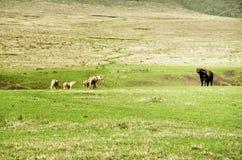 De Leeuwen en de Buffels Stock Fotografie