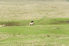 De Leeuwen en de Buffels Stock Foto's