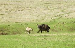 De Leeuwen en de Buffels Stock Foto