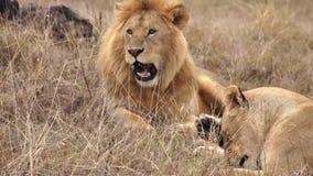 De leeuwen ligt in savanne en geeuw
