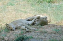 De leeuwen van de slaap Stock Foto