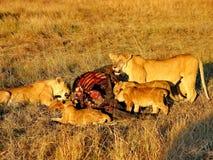 De leeuwen verzamelen zich om te eten Royalty-vrije Stock Fotografie