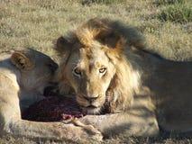 De leeuwen zien eruit Royalty-vrije Stock Afbeeldingen