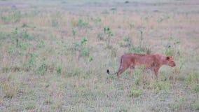 De leeuwin gaat in het lange gras savanne stock video