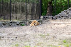 De leeuwin met oranje en witte wol ligt royalty-vrije stock fotografie