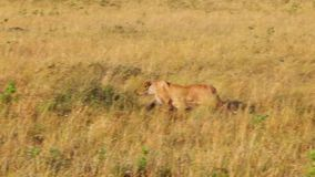De leeuwin neemt in het lange gras heimelijk aan wildebeests stock video
