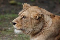 De leeuwin van Barbarije Royalty-vrije Stock Fotografie
