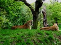 De leeuwin van de geeuw Royalty-vrije Stock Foto
