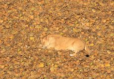 De leeuwin van de slaap Stock Afbeelding