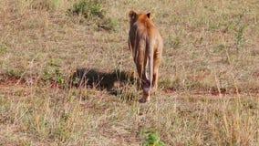 De leeuwin verwijdert zich van de camera savanne stock footage
