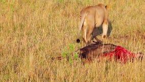De leeuwin verwondde terwijl het jacht in het linker achterste been stock video