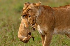 De leeuwinmoeder vervoert haar baby Royalty-vrije Stock Fotografie