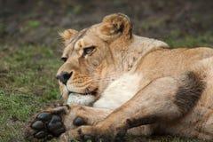 De leeuwinportret van Barbarije Royalty-vrije Stock Fotografie